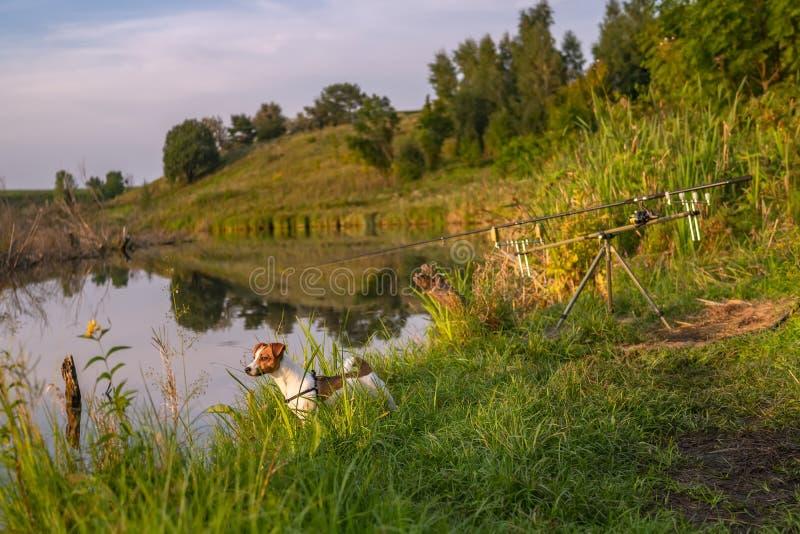 Jack Russell Terrier Hund zum Angeln Roden auf dem Stangen am Ufer des Sees mit grünem Gras Sommerurlaub lizenzfreie stockfotos