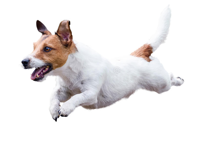 Jack Russell Terrier hundspring och banhoppning som isoleras på vit royaltyfri bild