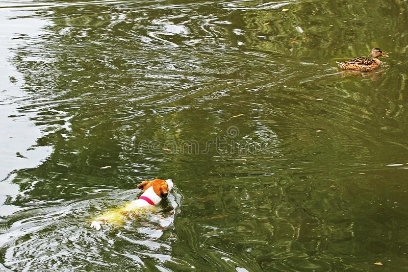 Jack Russell Terrier hunting for a duck, which swims away from him in a pond. Jack Russell Terrier hunting for a duck, which swims away from him royalty free stock photos