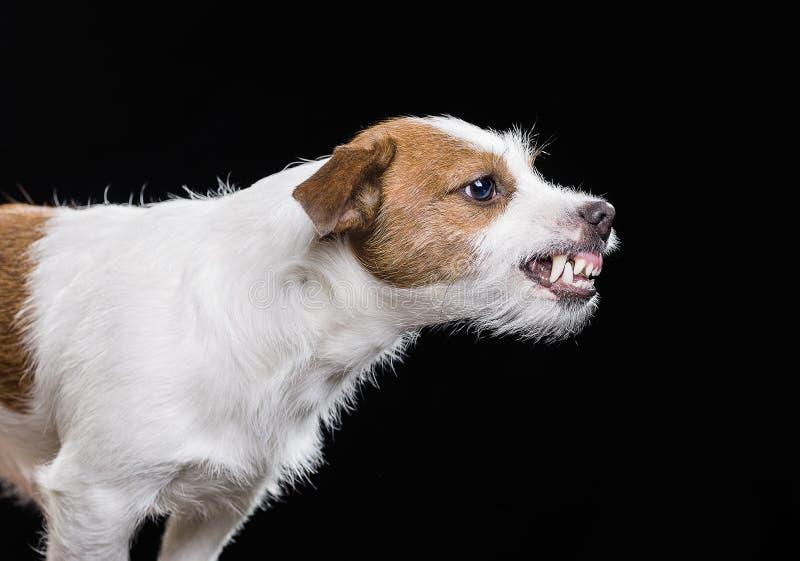 Jack Russell Terrier irritado imagem de stock