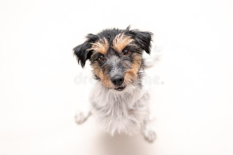 Jack Russell Terrier 4 Jahre alt, Frisur rau Netter kleiner kleiner Hund lokalisiert gegen weißen Hintergrund Hund schaut oben he stockbild