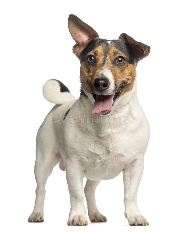 Jack Russell Terrier, 3 Jahre alt, Stellung und Keuchen stockfoto