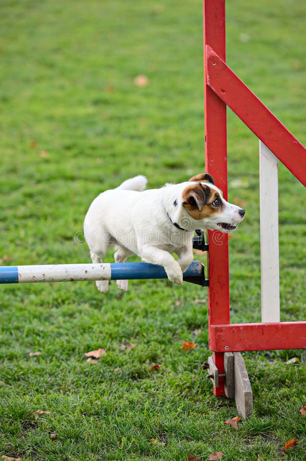 Download Jack Russell Terrier Jumping Over A Hurdle Stock Photo - Image: 16724388