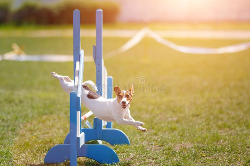 Dog jumping over hurdle in agility competition. Jack russell terrier jumping over hurdle in agility competition stock photos