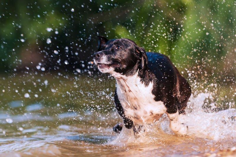 Jack Russell Terrier-Läufe durch das Wasser lizenzfreie stockbilder