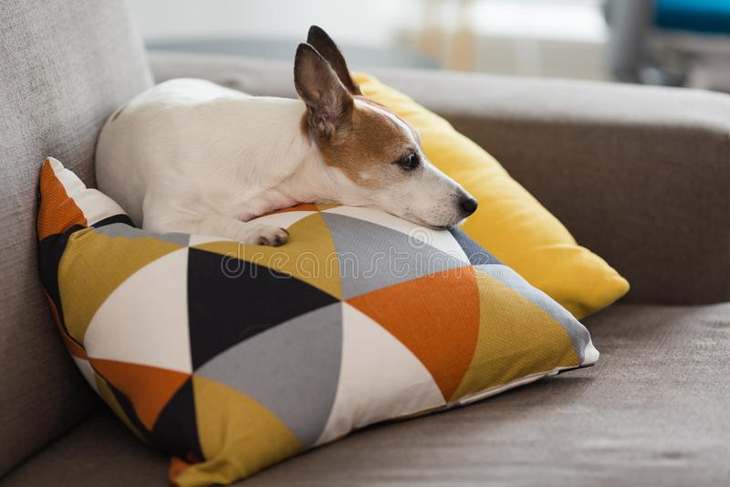 Jack Russell Terrier liten hund som vilar på en kudde med den grafiska modellen royaltyfri fotografi