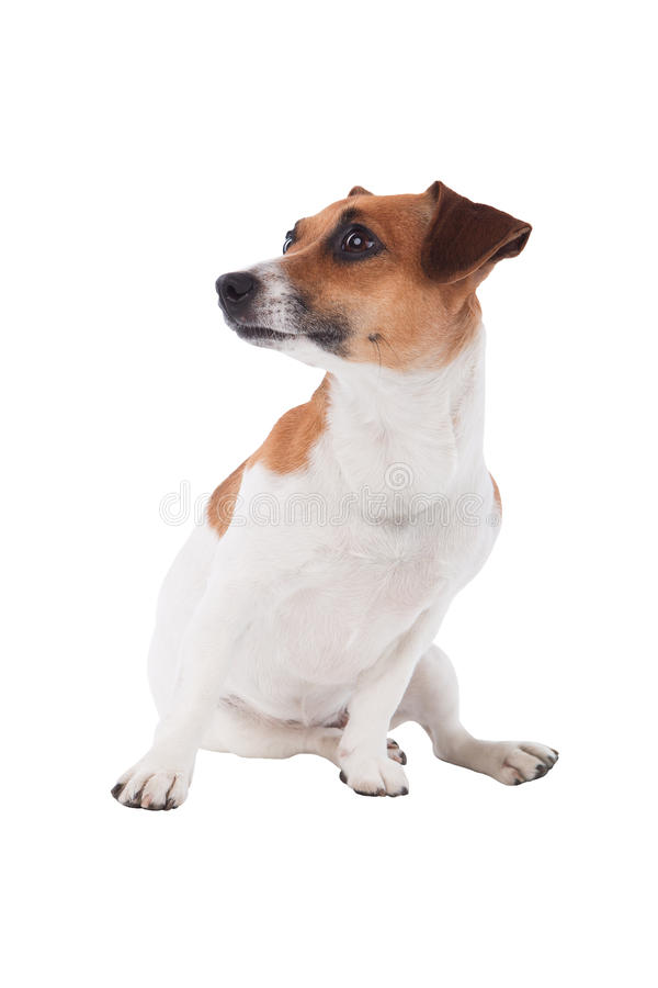 Jack Russell terrier looking to a side. Cute dog looking to a side isolated on white background stock photo