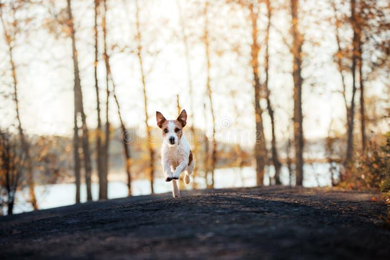 Jack Russell Terrier loopt vooruit en kijkt royalty-vrije stock afbeeldingen