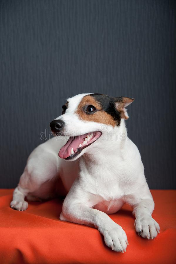 Jack russell terrier lying on dark background. Smiling dog. stock images