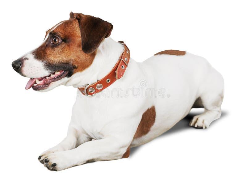 Jack Russell Terrier Lying Down na terra imagens de stock