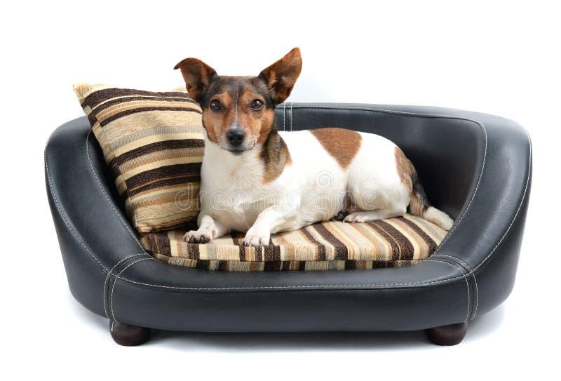 Jack Russell Terrier Lying op het Bed van de Luxehond royalty-vrije stock fotografie
