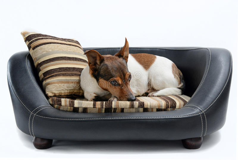 Jack Russell Terrier Lying sur le lit de luxe de chien photo stock