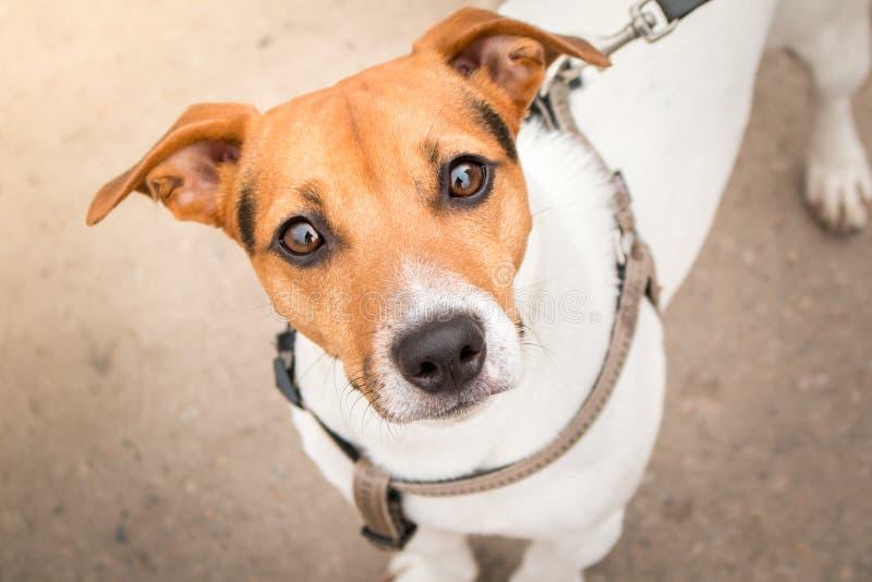 Jack Russell Terrier mądrze spojrzenie obrazy stock