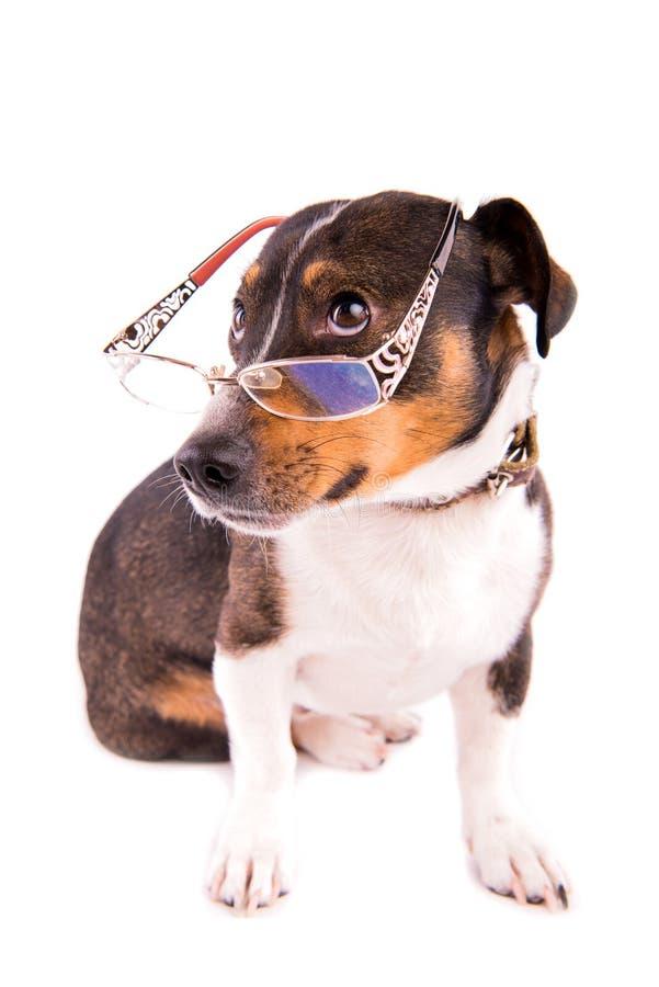 Jack Russell Terrier mit Gläsern auf einem weißen Hintergrund lizenzfreie stockbilder