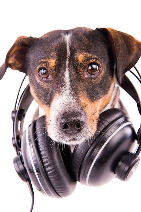 Jack Russell-Terrier mit Kopfhörern auf einem weißen Hintergrund lizenzfreie stockfotografie