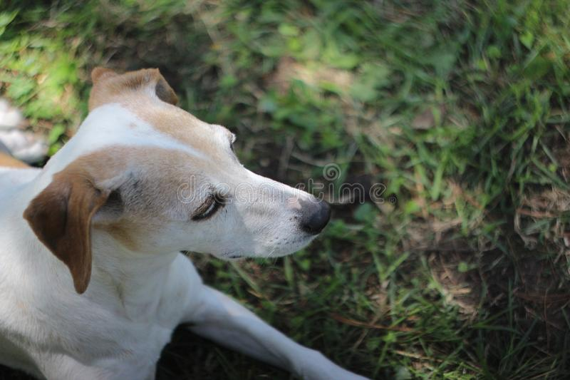 Jack Russell Terrier Mix Dog Looks bonito ao lado fotografia de stock royalty free