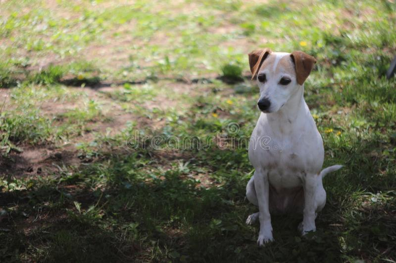 Jack Russell Terrier Mix Dog Looks bonito para a frente imagem de stock royalty free