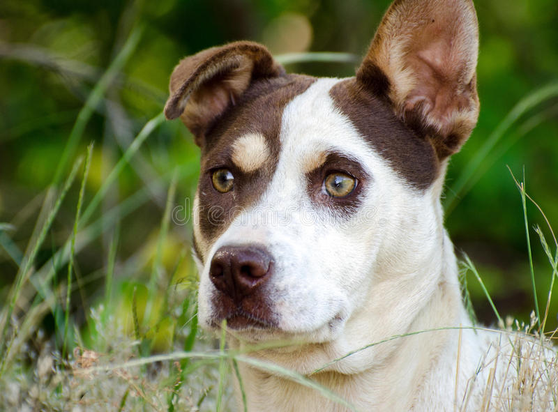 Jack Russell Terrier Mixed Breed Dog. Walton County Animal Control, humane society adoption photo, outdoor pet photography stock photos