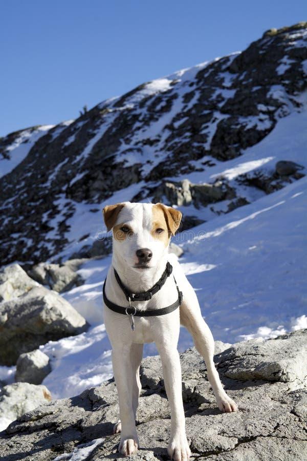 Jack Russell Terrier na górze Mtn Seymour, Północny Vancouver BC fotografia stock