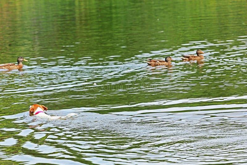 Jack Russell Terrier nage pour des canards dans un étang qui a dispersé dans différentes directions image libre de droits