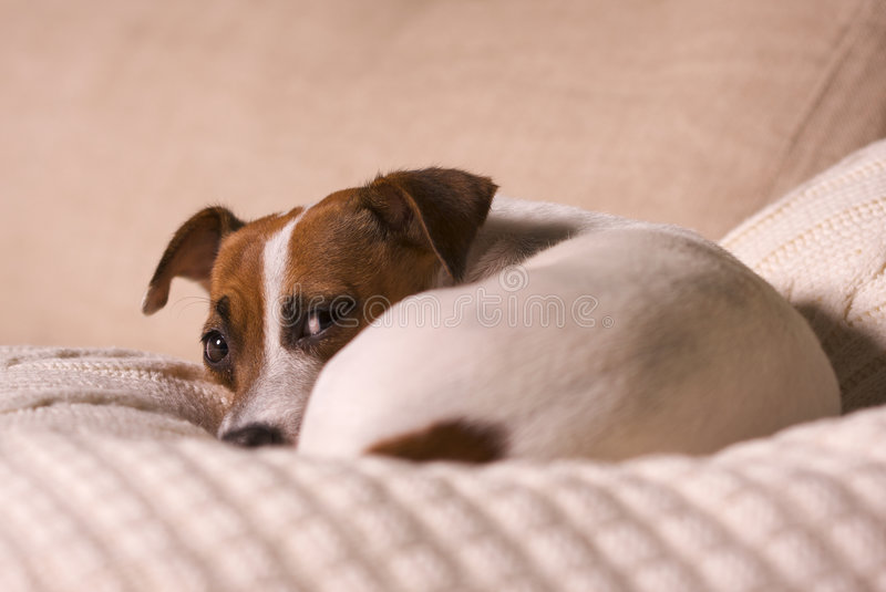 Download Jack Russell Terrier Napping On A Pillow Stock Image - Image: 6758677