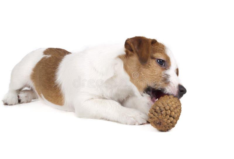 Jack Russell Terrier no estúdio em um fundo branco imagem de stock royalty free