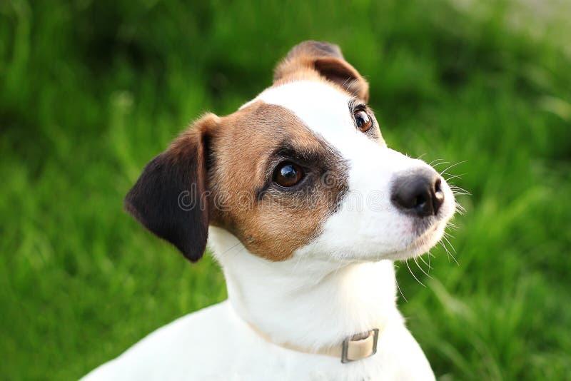 Jack Russell Terrier novo ativo feliz close-up Branco-marrom da cara e dos olhos do cão da cor em um parque fora, fazendo um un s imagens de stock royalty free