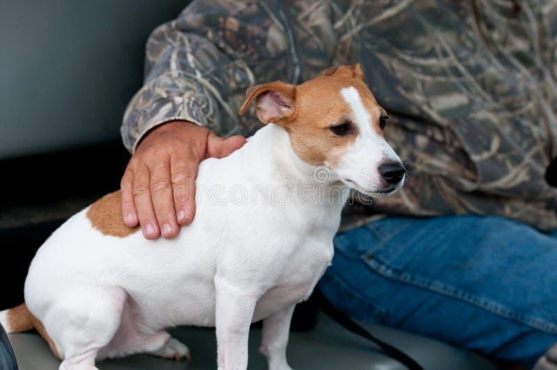 Jack Russell Terrier, obsługuje najlepszego przyjaciela fotografia royalty free