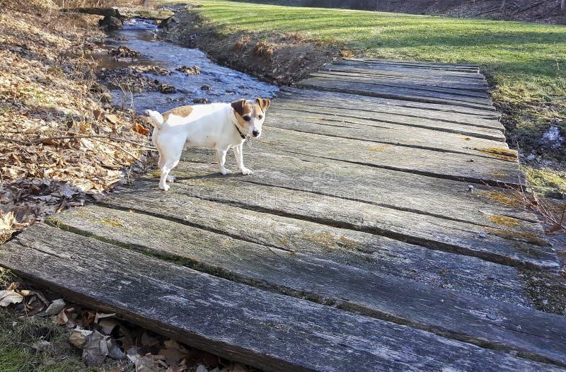 Jack Russell Terrier op een Voetbrug stock afbeeldingen