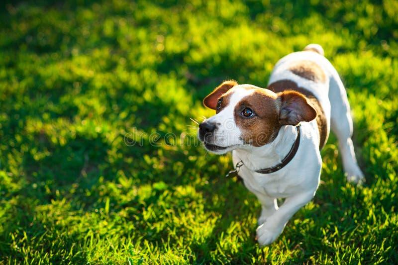 Jack Russell Terrier på grönt gräs royaltyfria foton