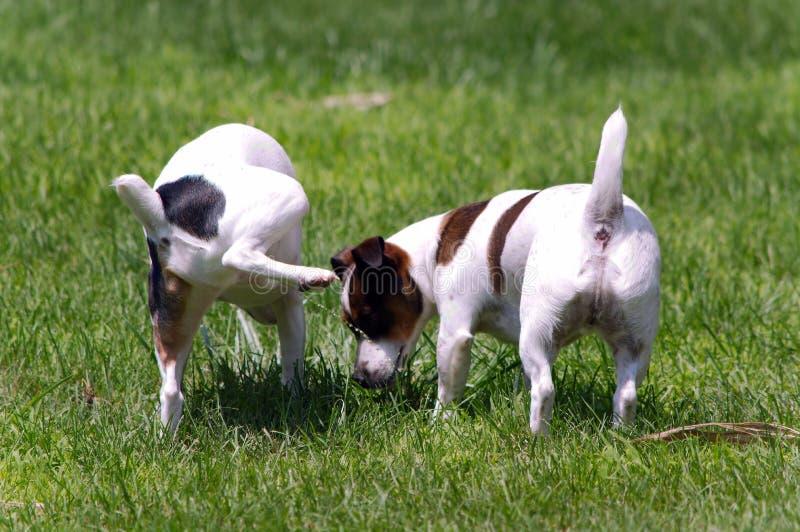 Jack Russell Terrier Peeing op andere Hond royalty-vrije stock fotografie