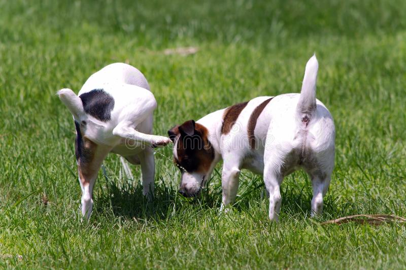 Jack Russell Terrier Peeing on other Dog. A Jack Russell Terrier dog lifts his leg and pees on another Jack Russell royalty free stock photography
