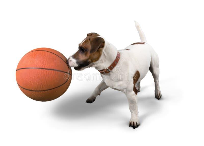 Jack Russell Terrier Playing com bola do basquetebol imagem de stock