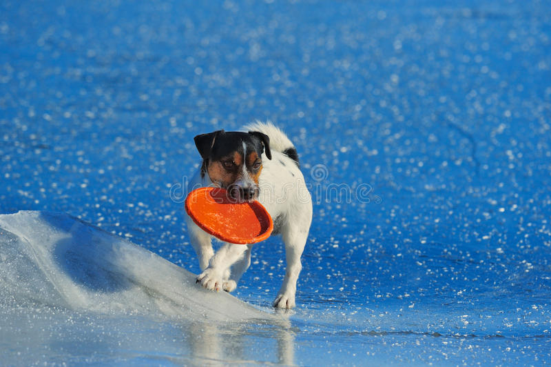 On the sea ice. Jack Russell terrier playing with flying disc on the sea ice royalty free stock image