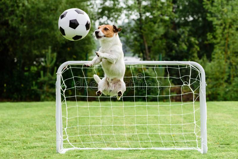 Funny dog flying in amusing pose catching football soccer ball and saving goal. Jack Russell Terrier playing football at backyard stock photos