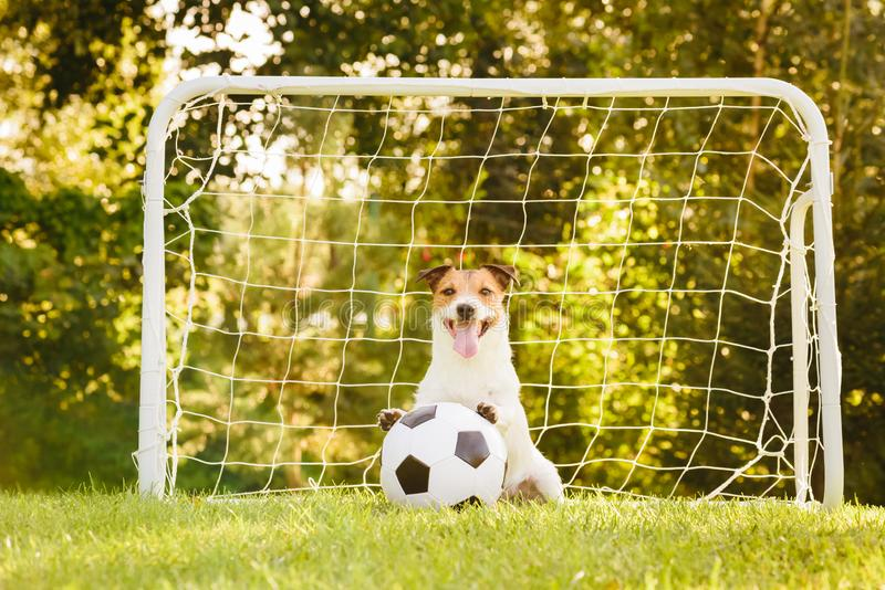 Dog sitting in front of football soccer goal with paws on generic football ball. Jack Russell Terrier playing football with black and white ball royalty free stock image
