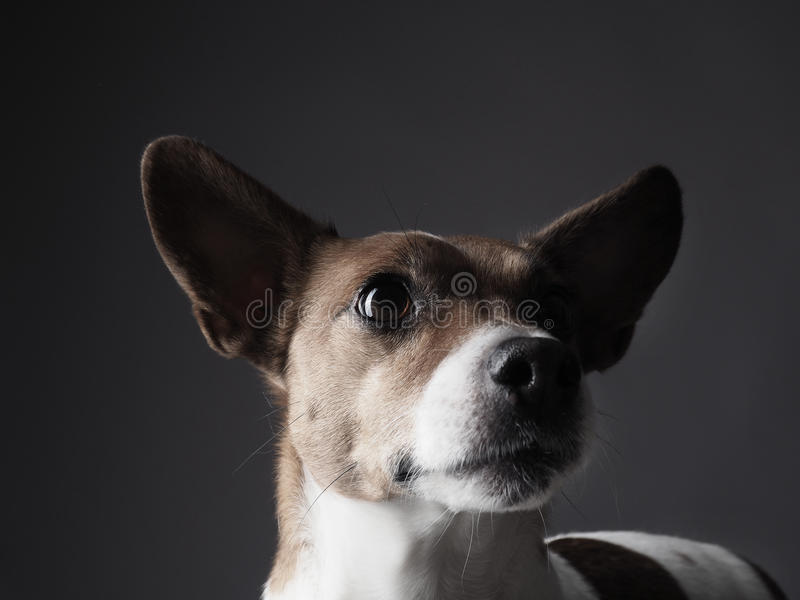 Jack Russell Terrier Portrait images stock