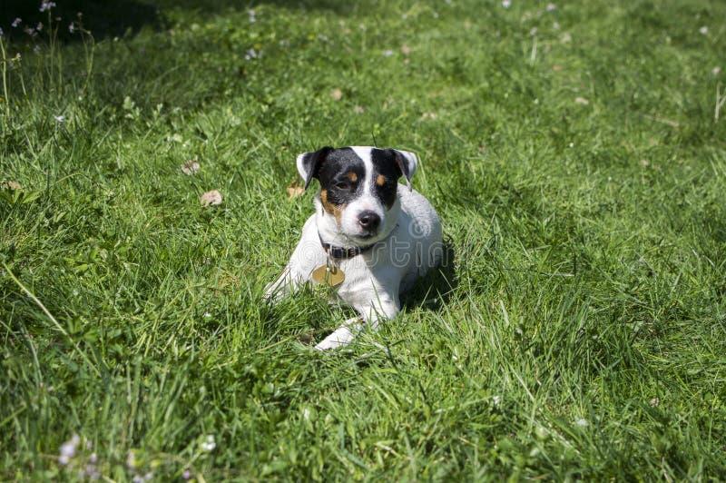 Jack Russell Terrier psi pozować w trawie, biały brown futerko, zwierze domowy zdjęcia stock