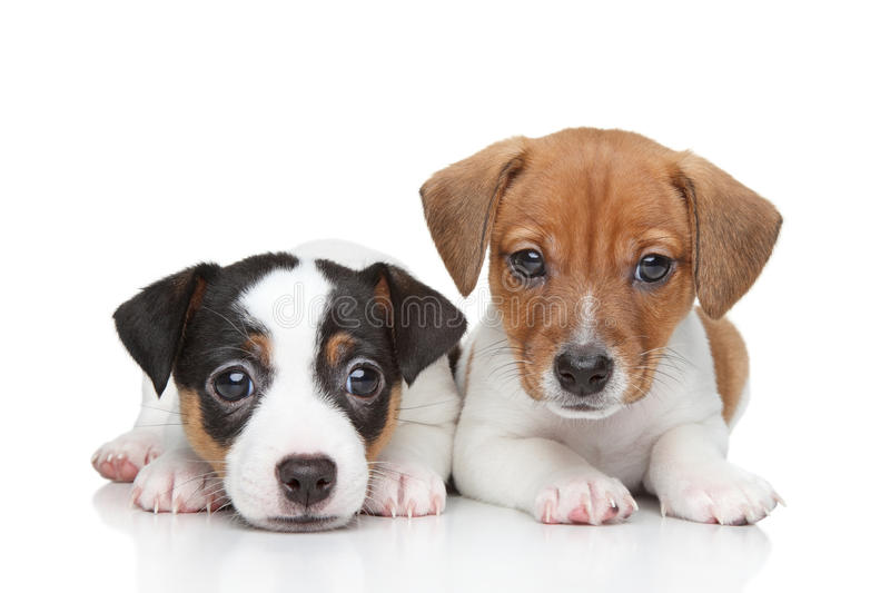 Jack Russell terrier puppies stock photo