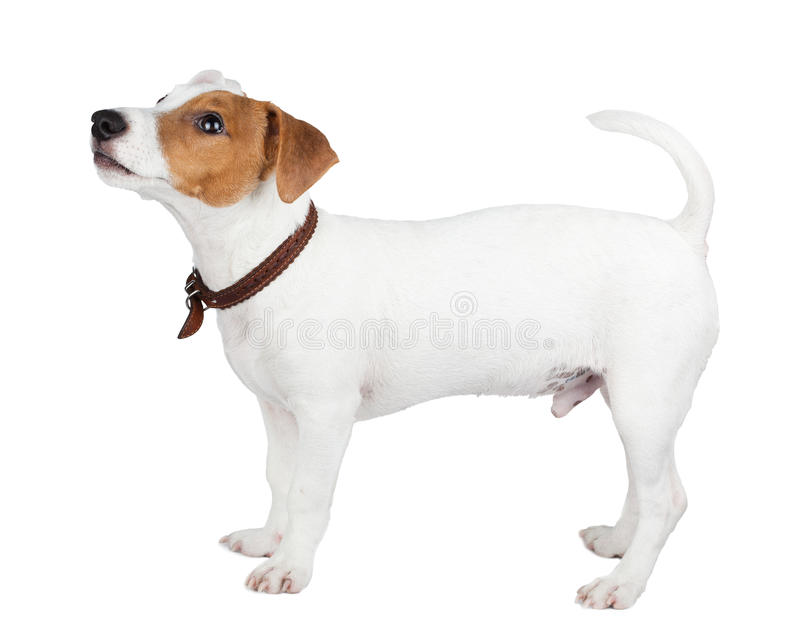 Jack Russell terrier, puppy stock photo