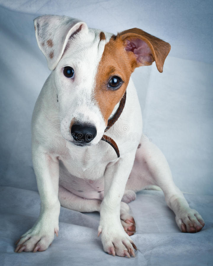 Download Jack Russell Terrier, Puppy Stock Photo - Image: 15922740