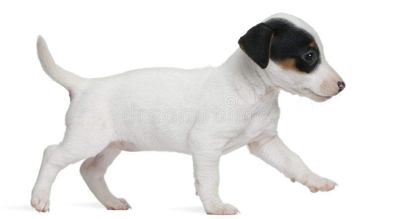 Download Jack Russell Terrier Puppy, 7 Weeks Old, Walking Stock Images - Image: 18990284