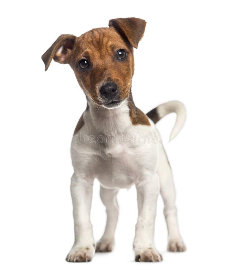 Jack Russell Terrier-puppy die opstaan (3 maanden oud) stock foto