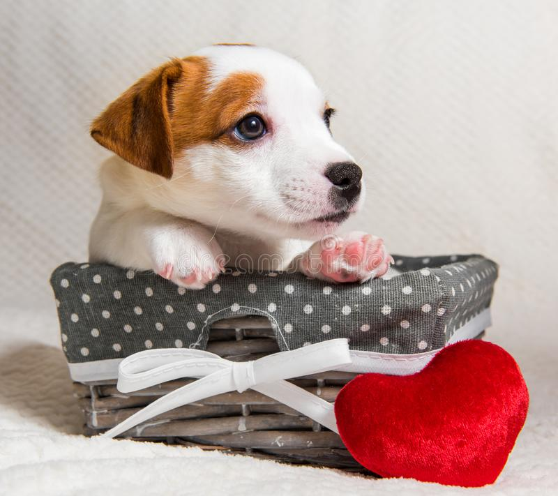 Jack Russell Terrier puppy dog in the basket with red heart. Jack Russell Terrier dog puppy in the basket with red heart on Valentine`s Day stock images