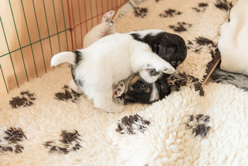 Small Jack Russell Terrier puppy dogs 4 weeks old. Young sibling puppies playfully comb stock photography