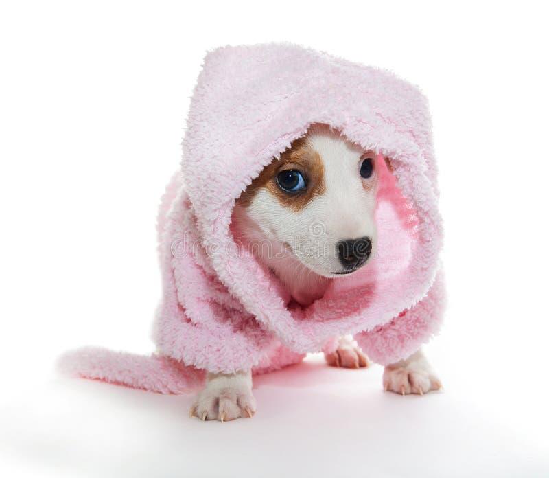 Jack Russell Terrier-puppy in een roze badjas stock afbeeldingen