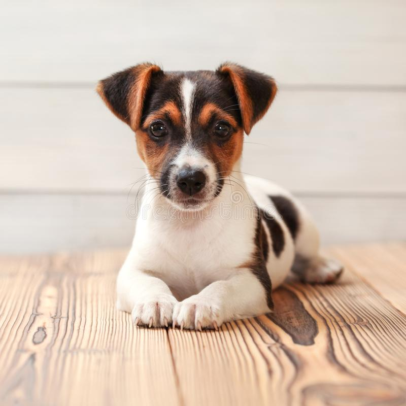 Jack Russell terrier puppy, laying on boards floor. Studio shot.  royalty free stock photo