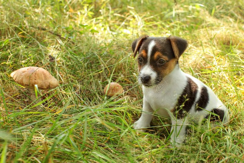 Jack Russell terrier puppy in low forest grass, lit by sun, two scaber stalk mushrooms next to her.  royalty free stock photography