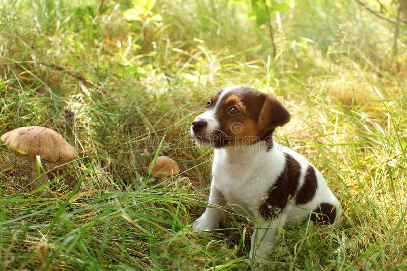 Jack Russell terrier puppy in low forest grass, two scaber stalk. Mushrooms next to her stock photo