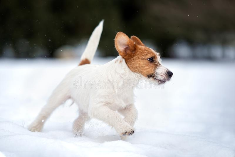 Jack russell terrier puppy playing outdoors in winter royalty free stock images
